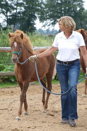 Junge Pferde schulen